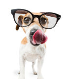 Cool dog with glasses is licking Stock Photo