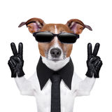 Cool dog. With peace fingers in black leather gloves Stock Photos
