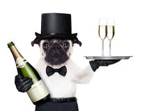 Cool dog peace. Pug with champagne glasses on a service tray and a bottle on the other side stock photo