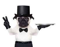 Cool dog peace. Cool pug with gloves and black hat holding an empty service tray ,fingers in peace or victory gesture stock image