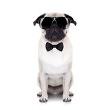 Cool dog. Pug dog looking so cool with fancy sunglasses and a black small tie Royalty Free Stock Image