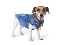 Cool dog style clothes Royalty Free Stock Photo