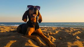 Cool dog with sunglasses relaxing at the beach. Stock Photography