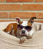 Cool dog wears his shades and sticks out his tongue Stock Photography