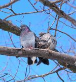 Cool doves on the tree. Royalty Free Stock Photo
