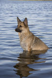 Cool Down. Dog sitting in the water Royalty Free Stock Images