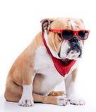 Cool English bulldog Royalty Free Stock Photography