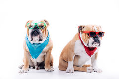 Cool English bulldogs. Two adult English bulldogs posing on white background Royalty Free Stock Photos