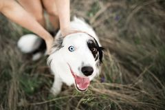 Cool girl pet dog border collie in windy field stock photo