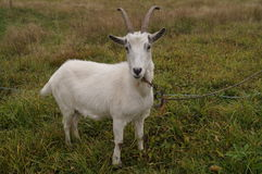 Cool goat in modern village Royalty Free Stock Photos