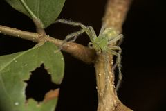 Lynx spider in Papua New Guinea. A cool green lynx spider perched on a stem in the jungle of Milne Bay, Papua New Guinea Stock Photography
