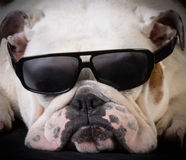 Cool hound Royalty Free Stock Photos