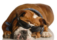 Cool hound dog Stock Image