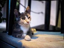 Cool look of an alley cat sitting under chair. royalty free stock photos