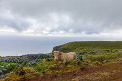 Cool Look Azores Cow royalty free stock photos