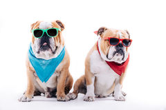 Cool looking bulldogs Royalty Free Stock Photo