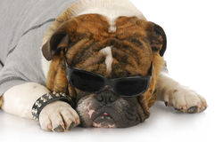 Cool looking dog. English bulldog wearing grey shirt and dark sunglasses with reflection on white background Royalty Free Stock Image
