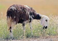 Cool middle-west goat eats a grass stock photography