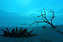 Cool morning. At a beach with dead tree Stock Photography