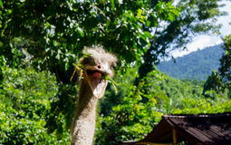 Cool ostrich is smiling. Close-up. Royalty Free Stock Photo