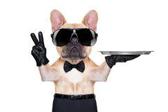 Cool party dog. French bulldog with peace or victory fingers holding a service tray , ready to help, isolated on white background stock images