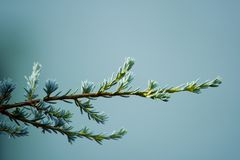 Cool pine branch Royalty Free Stock Images