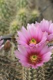 Cool Pink with Magenta colored Cactus Flower and Flower Buds Royalty Free Stock Photography