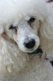 Cool poodle dog Stock Photography