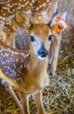 A fawn in Mackinac Deerland ST. Ignace, Michigan royalty free stock photography