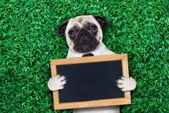 Cool pug dog stock photography