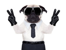 Cool pug. Pug dog looking so fancy with victory or peace fingers, wearing cool  black sunglasses Stock Photography