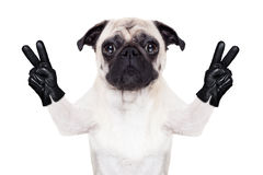 Cool pug dog Stock Image