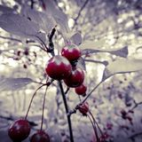 Cool red cherry tree Royalty Free Stock Photography