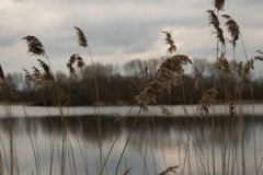 Reed Cane In A Forest By the Waterside Clouds Sky Nature stock photo