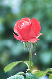 Cool Rose. Beautiful red rose after rain Royalty Free Stock Photo
