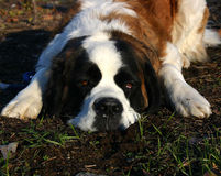 Cool Saint bernard Stock Photo