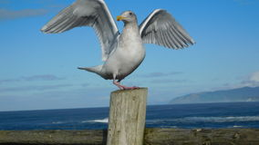 So cool seagull Royalty Free Stock Image