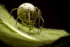 Cool spider with huge textured abdomen Royalty Free Stock Photo