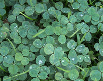 Cool tones green clover or shamrock background with rain drops Royalty Free Stock Images