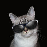 Cool White Cat With Party Sunglasses on Black. A white cat is wearing sunglasses on a black background with party lights around the feline Royalty Free Stock Images