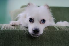 Cool white fluffy dog resting on a green sofa. German Spitz with blue eyes. White fluffy dog lying on the couch and very wary looking to the side Stock Image