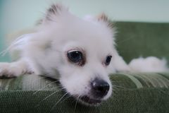 Cool white fluffy dog resting on a green sofa. German Spitz with blue eyes. White fluffy dog lying on the couch and very wary looking to the side Royalty Free Stock Image