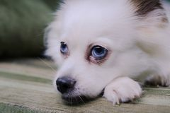 Cool white fluffy dog resting on a green sofa. German Spitz with blue eyes. White fluffy dog lying on the couch and very wary looking to the side Stock Photo