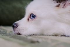 Cool white fluffy dog resting on a green sofa. German Spitz with blue eyes. White fluffy dog lying on the couch and very wary looking to the side Stock Photography