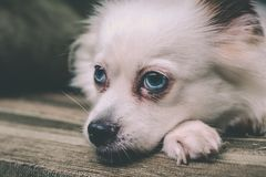 Cool white fluffy dog resting on a green sofa. German Spitz with blue eyes. White fluffy dog lying on the couch and very wary looking to the side Royalty Free Stock Images