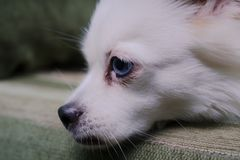Cool white fluffy dog resting on a green sofa. German Spitz with blue eyes. White fluffy dog lying on the couch and very wary looking to the side Stock Images