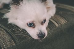 Cool white fluffy dog resting on a green sofa. German Spitz with blue eyes. White fluffy dog lying on the couch and very wary looking to the side Royalty Free Stock Photo