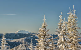 Snow Covered Trees at Sunrise with Mount St Helens Royalty Free Stock Photography