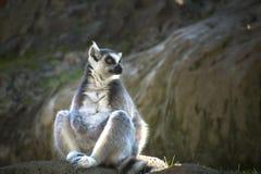 Cool young cat lemur, Madagascar Lemur catta.  royalty free stock image