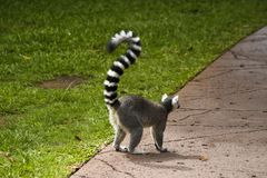 Cool young lemur in Australia zoo, Brisbane royalty free stock photography